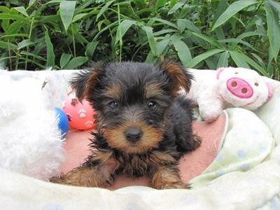 ヨークシャーテリアの子犬(ID:1232811063)の3枚目の写真/更新日:2015-09-10