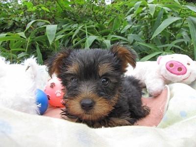 ヨークシャーテリアの子犬(ID:1232811063)の4枚目の写真/更新日:2015-09-10