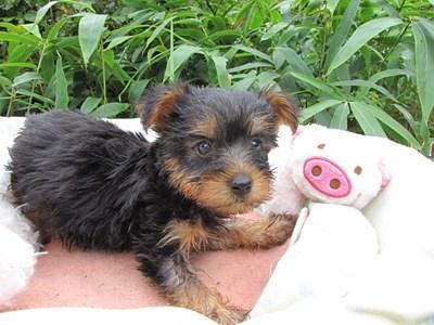 ヨークシャーテリアの子犬(ID:1232811063)の5枚目の写真/更新日:2015-09-10