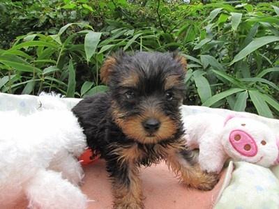 ヨークシャーテリアの子犬(ID:1232811063)の6枚目の写真/更新日:2015-09-10