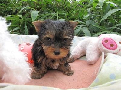 ヨークシャーテリアの子犬(ID:1232811064)の1枚目の写真/更新日:2015-09-11