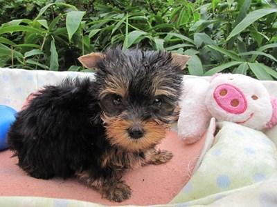 ヨークシャーテリアの子犬(ID:1232811064)の2枚目の写真/更新日:2015-09-11