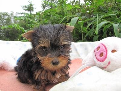 ヨークシャーテリアの子犬(ID:1232811064)の3枚目の写真/更新日:2015-09-11