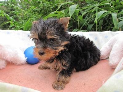 ヨークシャーテリアの子犬(ID:1232811064)の4枚目の写真/更新日:2015-09-11