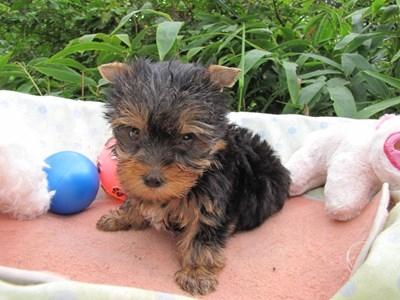 ヨークシャーテリアの子犬(ID:1232811064)の5枚目の写真/更新日:2015-09-11