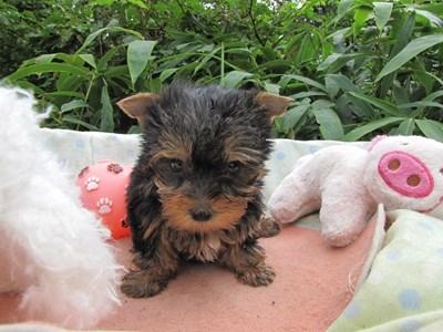 ヨークシャーテリアの子犬(ID:1232811064)の6枚目の写真/更新日:2015-09-11
