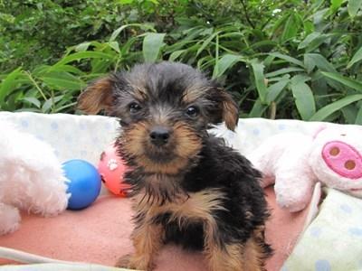 ヨークシャーテリアの子犬(ID:1232811065)の1枚目の写真/更新日:2015-09-12