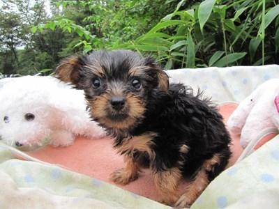 ヨークシャーテリアの子犬(ID:1232811065)の2枚目の写真/更新日:2015-09-12