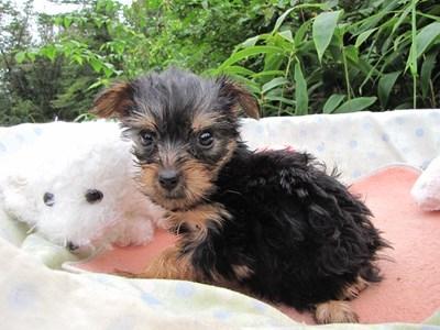 ヨークシャーテリアの子犬(ID:1232811065)の3枚目の写真/更新日:2015-09-12