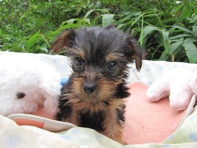 ヨークシャーテリアの子犬(ID:1232811065)の4枚目の写真/更新日:2015-09-12