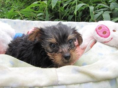 ヨークシャーテリアの子犬(ID:1232811065)の5枚目の写真/更新日:2015-09-12
