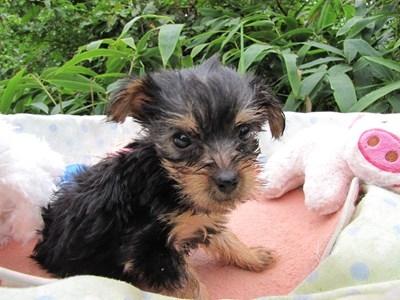 ヨークシャーテリアの子犬(ID:1232811065)の6枚目の写真/更新日:2015-09-12