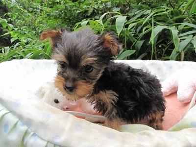 ヨークシャーテリアの子犬(ID:1232811066)の1枚目の写真/更新日:2015-09-13