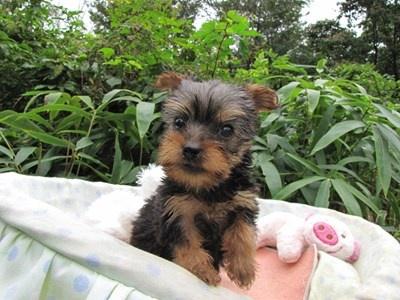 ヨークシャーテリアの子犬(ID:1232811066)の2枚目の写真/更新日:2015-09-13