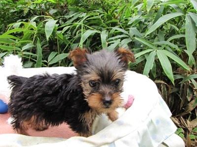 ヨークシャーテリアの子犬(ID:1232811066)の3枚目の写真/更新日:2015-09-13