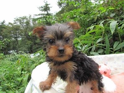 ヨークシャーテリアの子犬(ID:1232811066)の4枚目の写真/更新日:2015-09-13