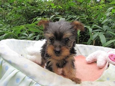 ヨークシャーテリアの子犬(ID:1232811066)の5枚目の写真/更新日:2015-09-13