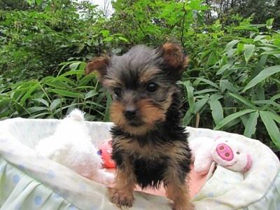 ヨークシャーテリアの子犬(ID:1232811066)の6枚目の写真/更新日:2015-09-13