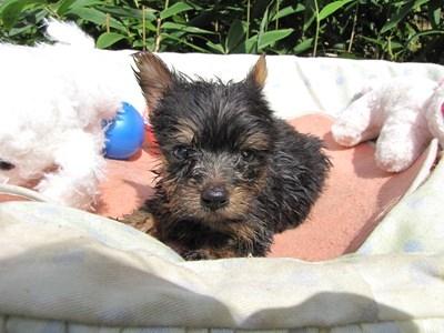 ヨークシャーテリアの子犬(ID:1232811067)の1枚目の写真/更新日:2015-09-18
