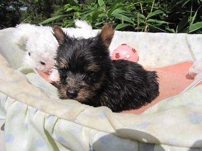 ヨークシャーテリアの子犬(ID:1232811067)の2枚目の写真/更新日:2015-09-18