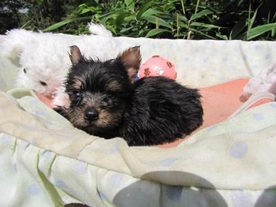 ヨークシャーテリアの子犬(ID:1232811067)の3枚目の写真/更新日:2015-09-18