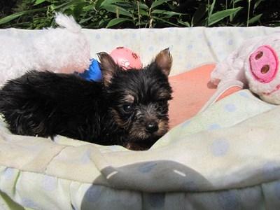 ヨークシャーテリアの子犬(ID:1232811067)の4枚目の写真/更新日:2015-09-18