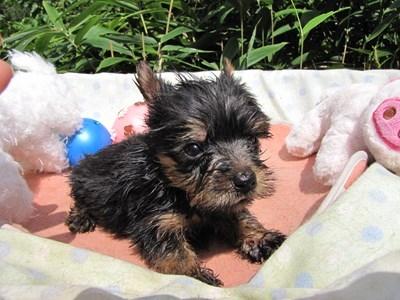 ヨークシャーテリアの子犬(ID:1232811067)の5枚目の写真/更新日:2015-09-18
