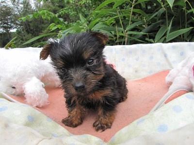 ヨークシャーテリアの子犬(ID:1232811068)の2枚目の写真/更新日:2015-09-19