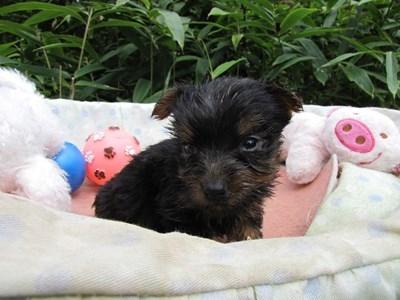 ヨークシャーテリアの子犬(ID:1232811068)の3枚目の写真/更新日:2015-09-19