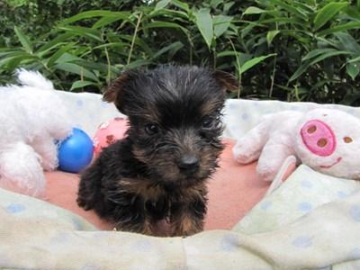 ヨークシャーテリアの子犬(ID:1232811068)の4枚目の写真/更新日:2015-09-19