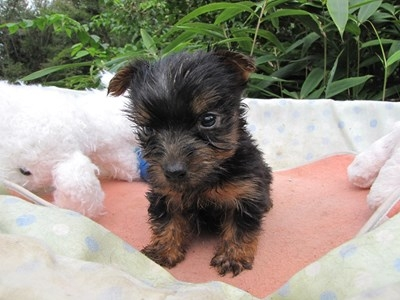 ヨークシャーテリアの子犬(ID:1232811068)の6枚目の写真/更新日:2015-09-19