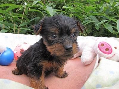 ヨークシャーテリアの子犬(ID:1232811069)の1枚目の写真/更新日:2015-09-20