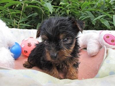 ヨークシャーテリアの子犬(ID:1232811069)の2枚目の写真/更新日:2015-09-20