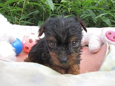 ヨークシャーテリアの子犬(ID:1232811069)の3枚目の写真/更新日:2015-09-20