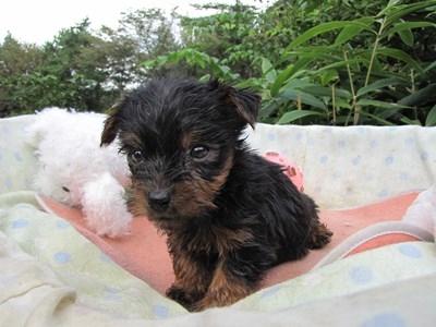 ヨークシャーテリアの子犬(ID:1232811069)の4枚目の写真/更新日:2015-09-20