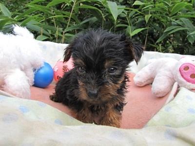 ヨークシャーテリアの子犬(ID:1232811069)の5枚目の写真/更新日:2015-09-20