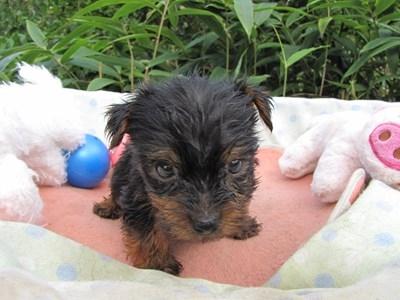ヨークシャーテリアの子犬(ID:1232811069)の6枚目の写真/更新日:2015-09-20