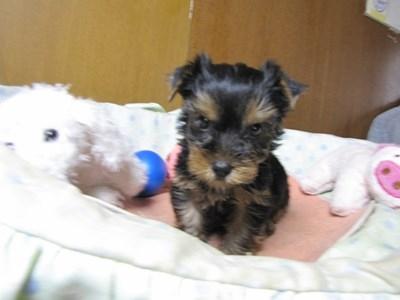 ヨークシャーテリアの子犬(ID:1232811070)の1枚目の写真/更新日:2015-09-25