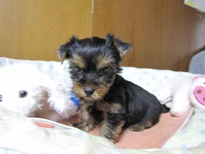 ヨークシャーテリアの子犬(ID:1232811070)の2枚目の写真/更新日:2015-09-25