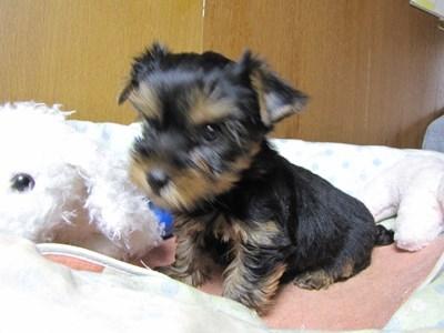 ヨークシャーテリアの子犬(ID:1232811070)の3枚目の写真/更新日:2015-09-25