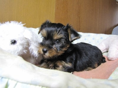 ヨークシャーテリアの子犬(ID:1232811070)の4枚目の写真/更新日:2015-09-25