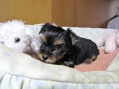 ヨークシャーテリアの子犬(ID:1232811070)の5枚目の写真/更新日:2015-09-25