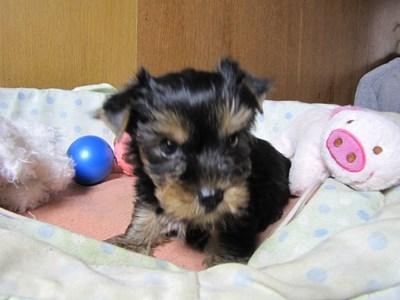 ヨークシャーテリアの子犬(ID:1232811070)の6枚目の写真/更新日:2015-09-25