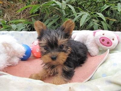 ヨークシャーテリアの子犬(ID:1232811071)の1枚目の写真/更新日:2015-10-24