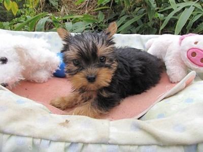 ヨークシャーテリアの子犬(ID:1232811071)の2枚目の写真/更新日:2015-10-24