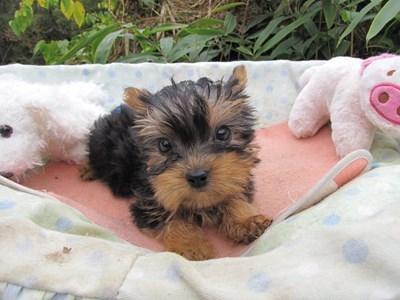 ヨークシャーテリアの子犬(ID:1232811071)の3枚目の写真/更新日:2015-10-24
