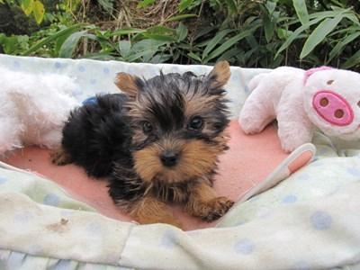 ヨークシャーテリアの子犬(ID:1232811071)の4枚目の写真/更新日:2015-10-24
