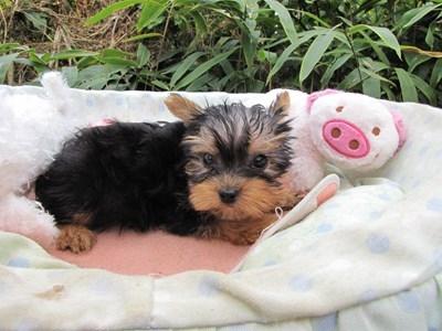 ヨークシャーテリアの子犬(ID:1232811071)の5枚目の写真/更新日:2015-10-24