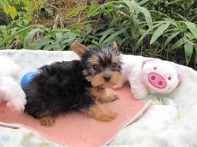 ヨークシャーテリアの子犬(ID:1232811071)の6枚目の写真/更新日:2015-10-24