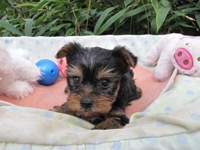 ヨークシャーテリアの子犬(ID:1232811072)の1枚目の写真/更新日:2015-10-07